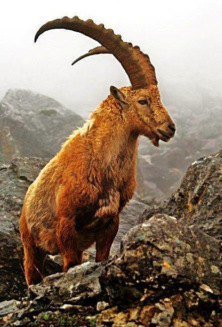 Ibex Watching Tour